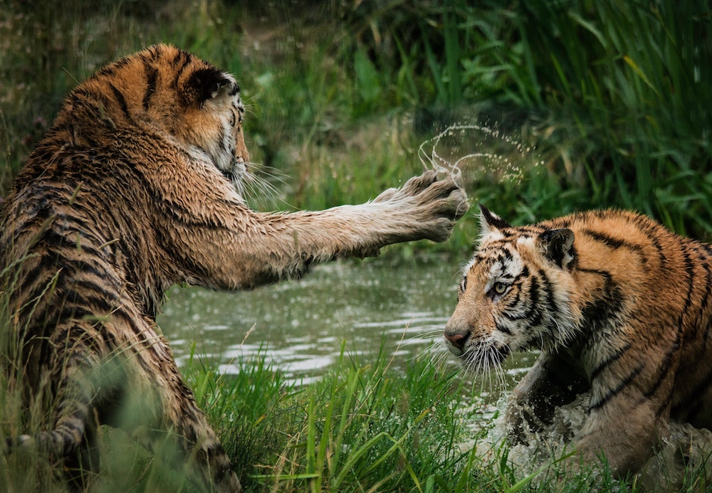 Tigers Feuding